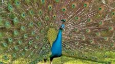 PEACOCK Dance and Mating Calls HD
